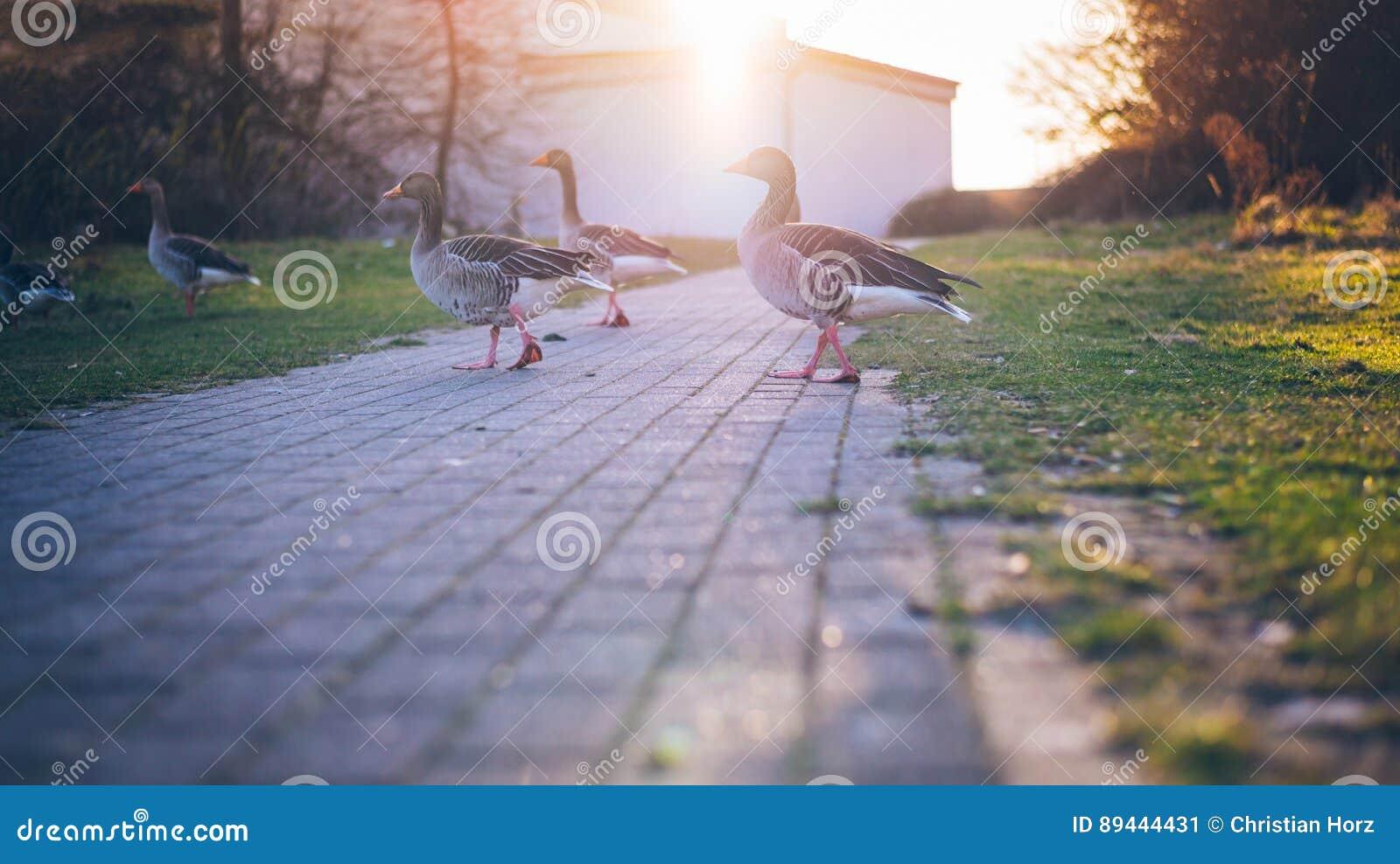 Gansos de passeio