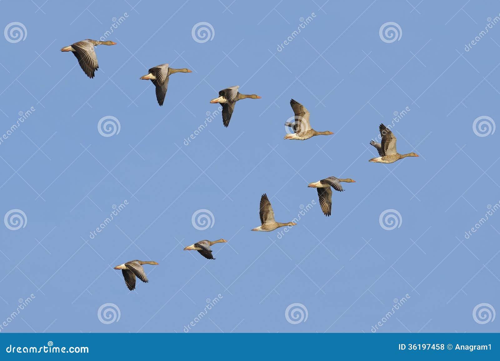 Gansos de pato bravo europeu em voo