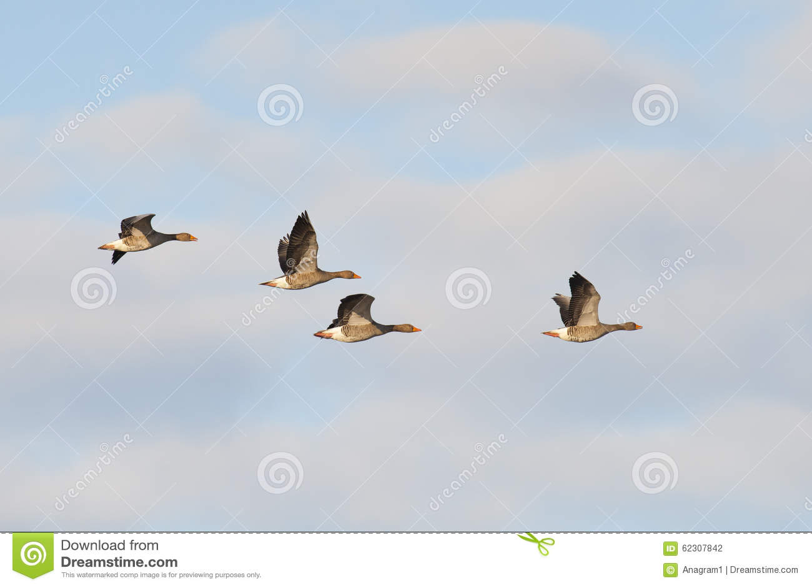 Gansos de pato bravo europeu no vôo