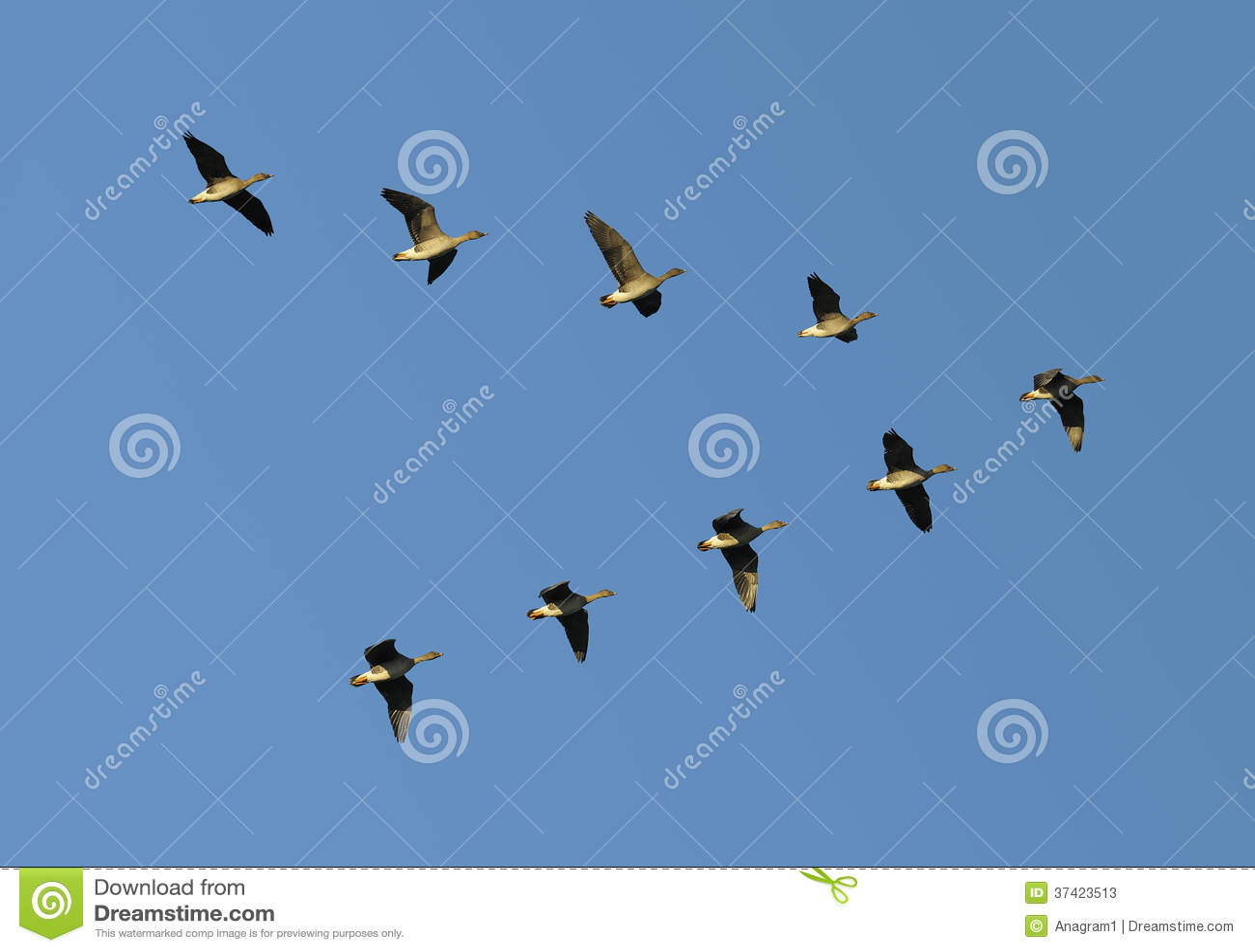 Gansos do feijão em voo