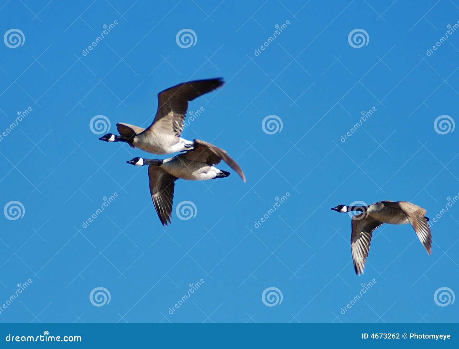 Gansos do vôo