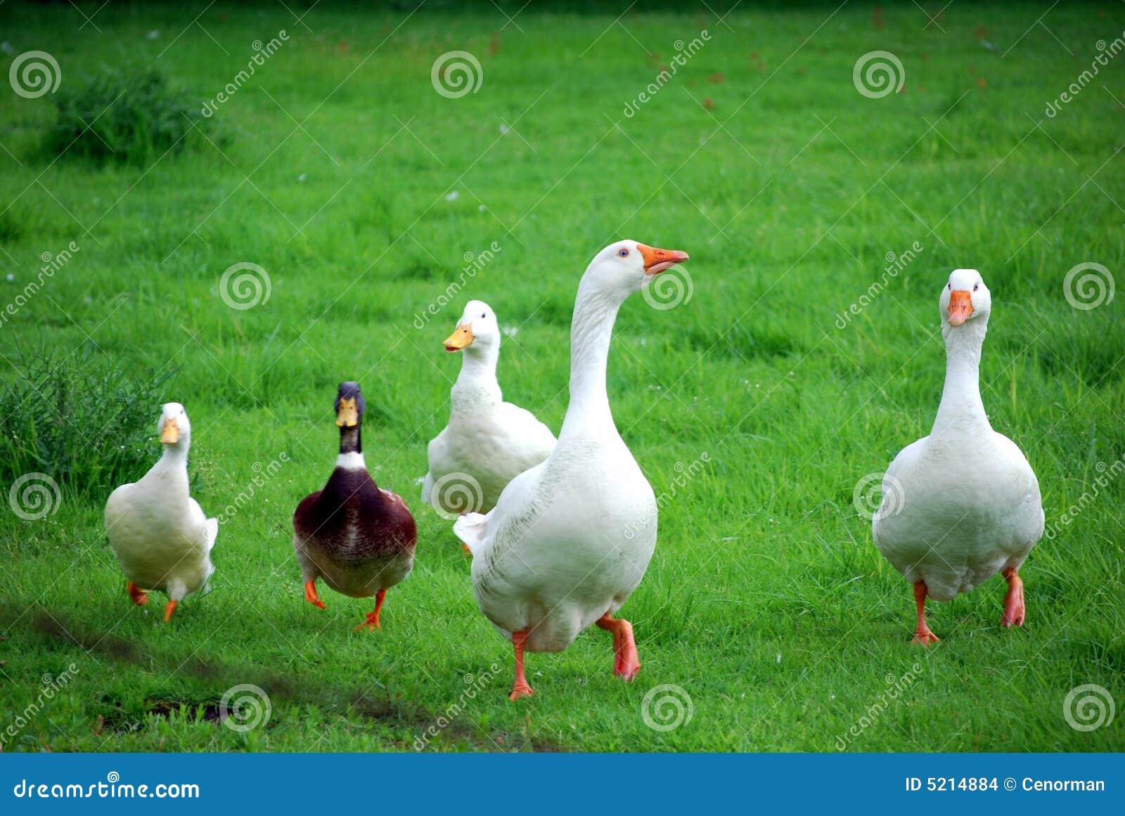 Gansos e patos