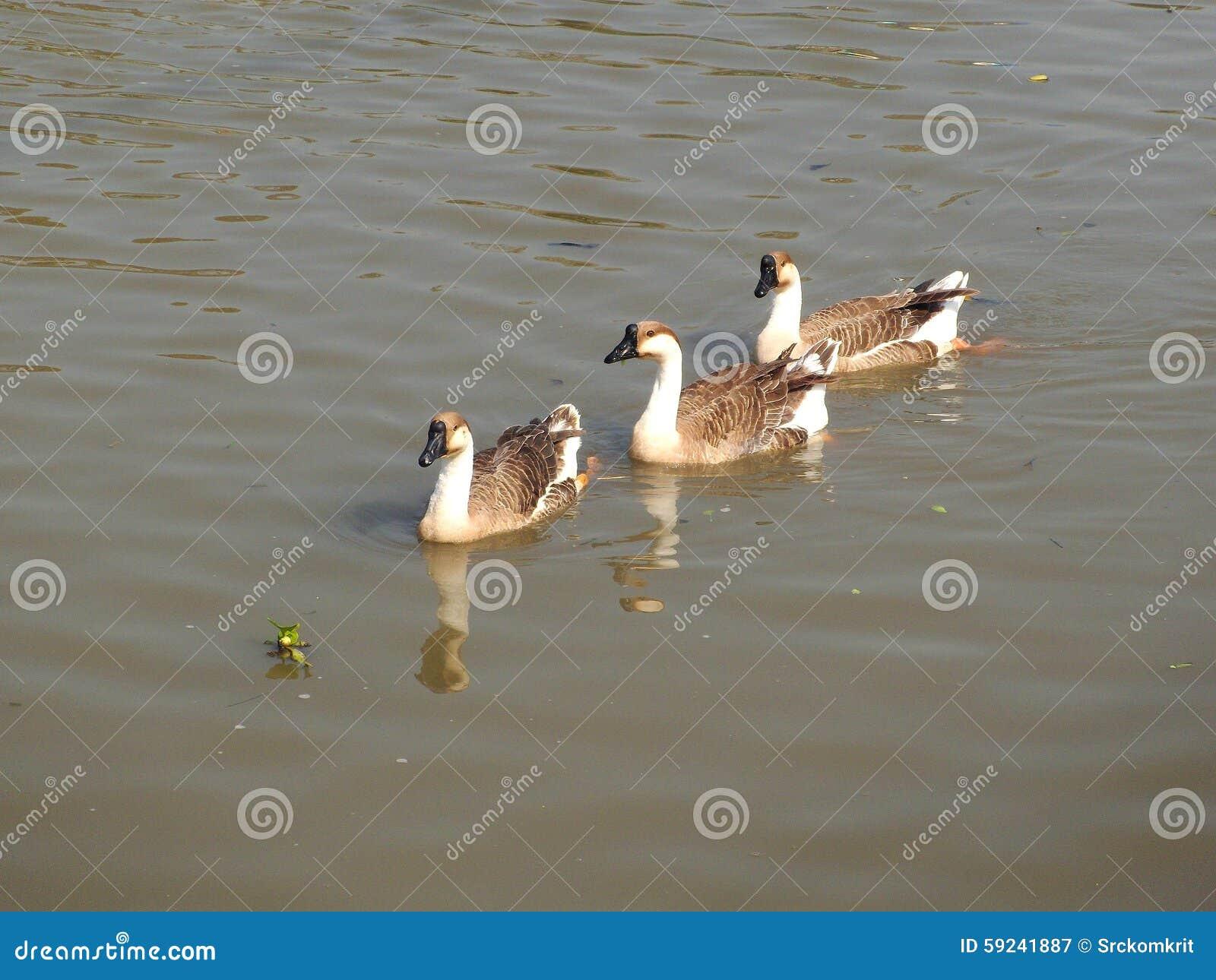 Gansos en el agua