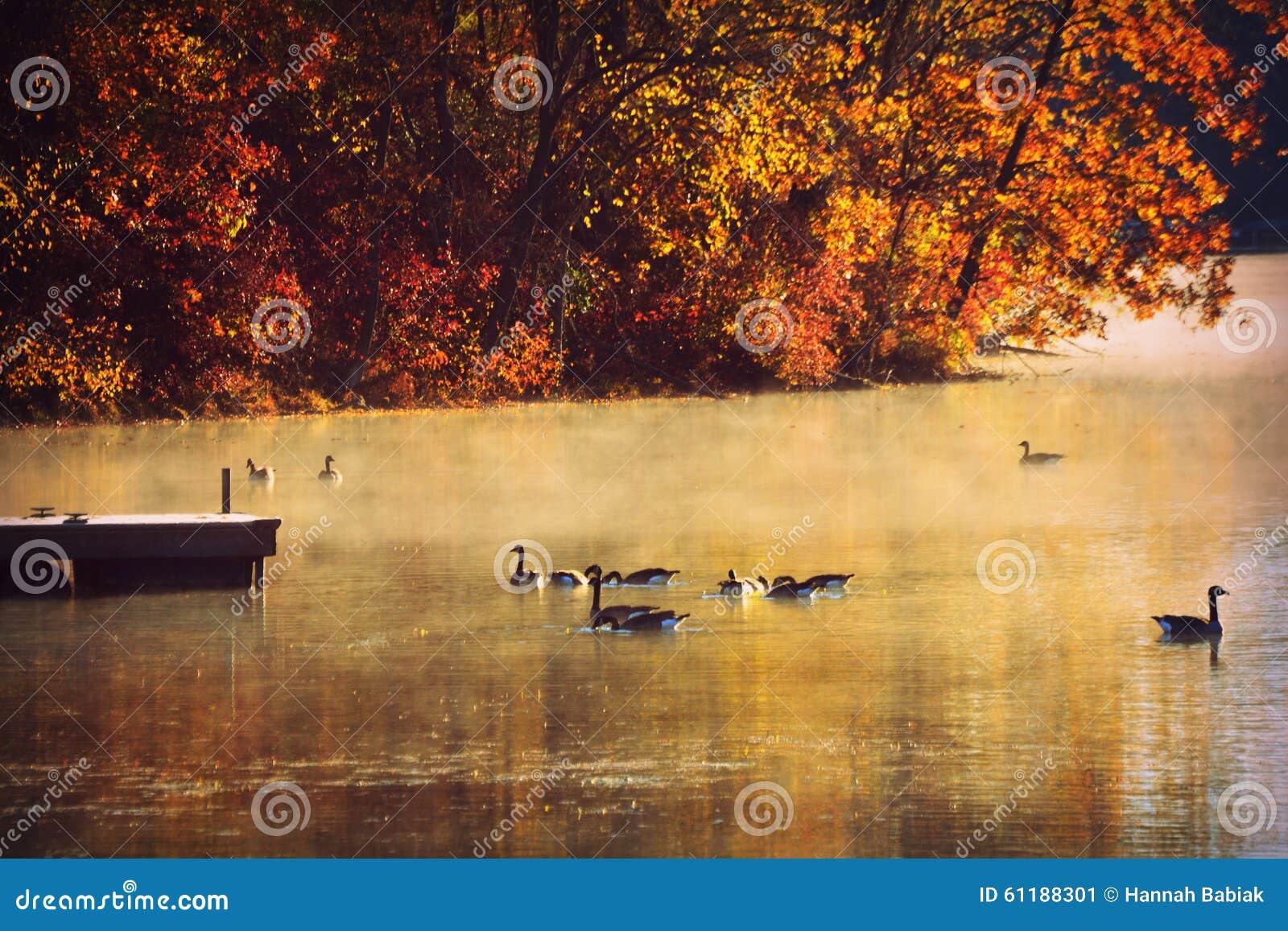 Gansos en el lago, niebla de la mañana, caída