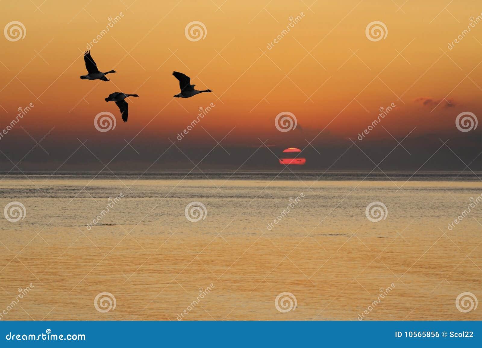 Gansos en la salida del sol
