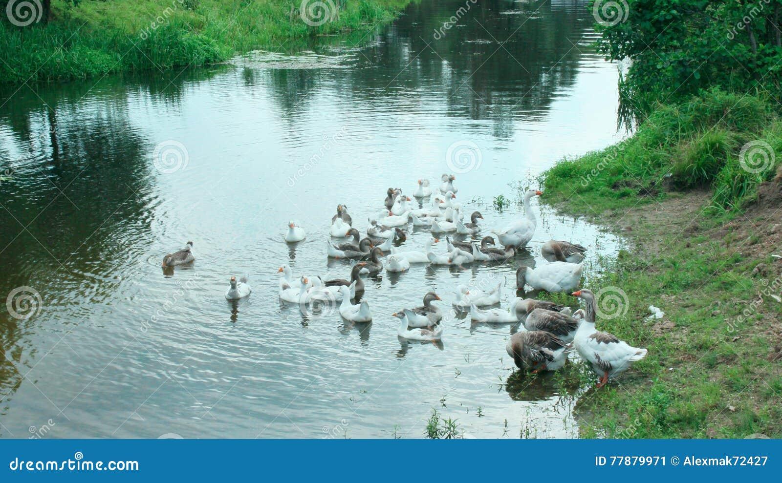 Gansos Nacionales Que Nadan En El Agua Foto de archivo