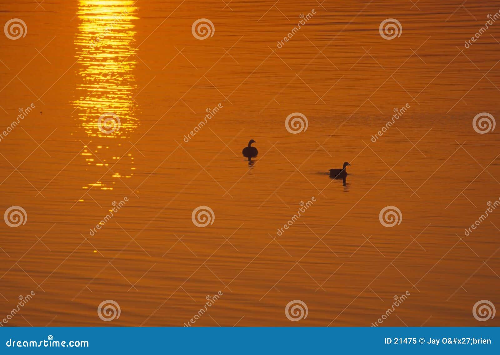 Gansos no nascer do sol