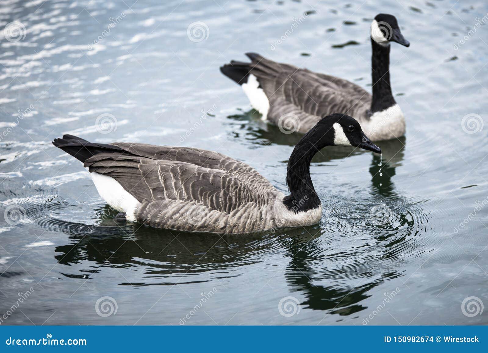 Gansos que nadan en un lago