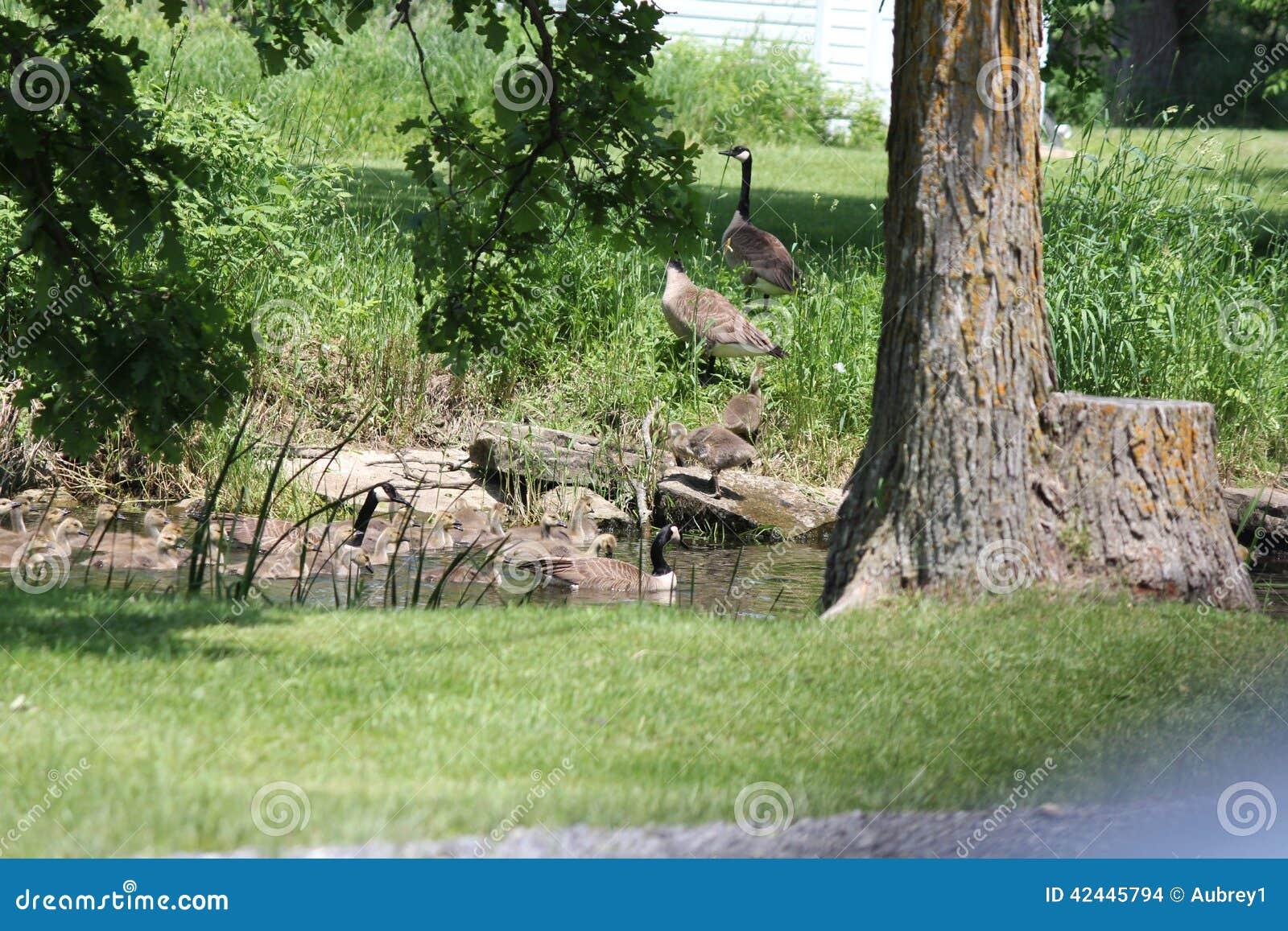 Gansos y ansarones de Canadá en hierba
