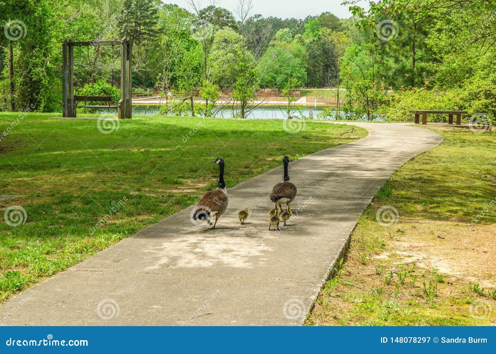 Ganzen die in het park lopen