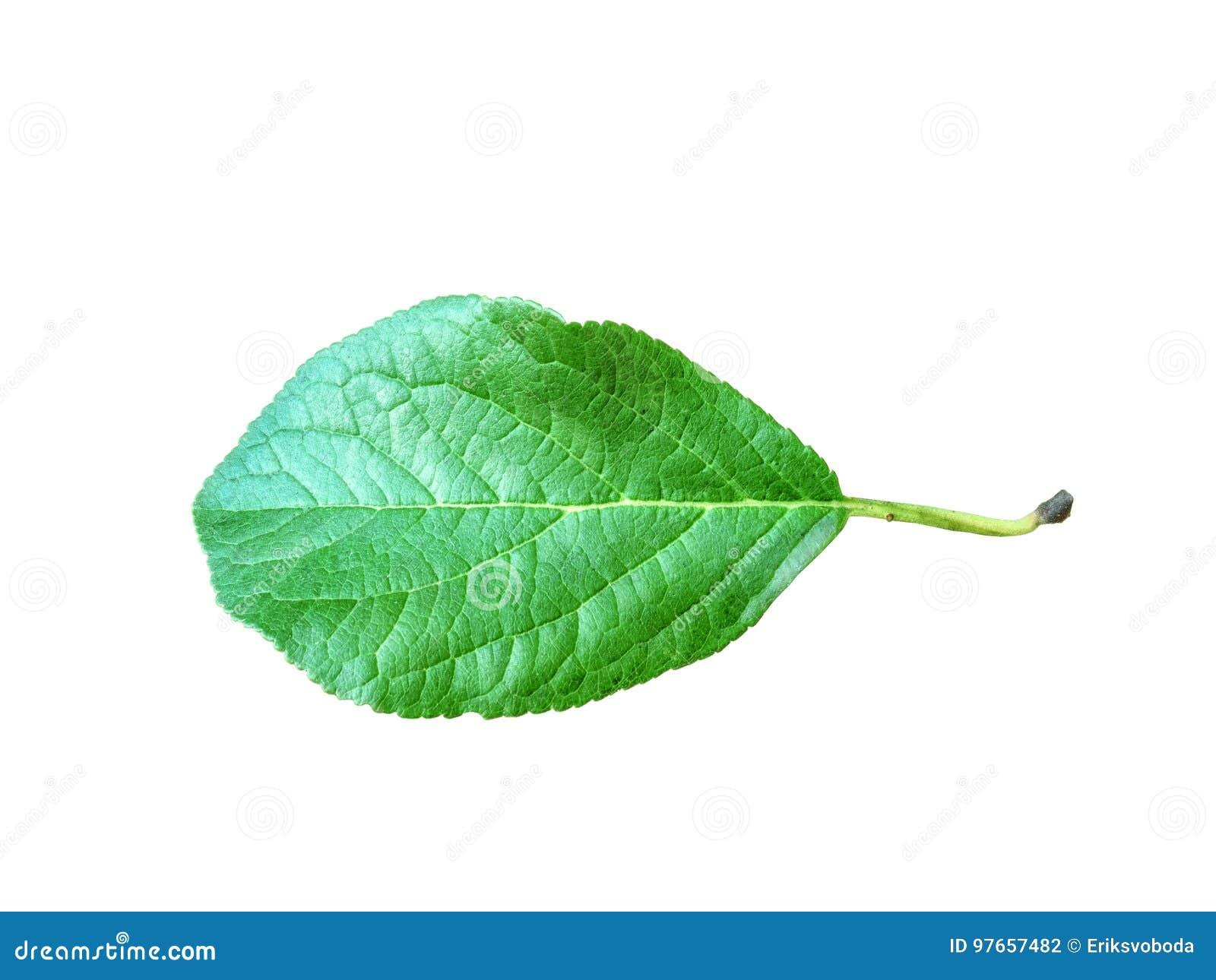 Ganzes Blatt des Apfels mit dem Stiel lokalisiert auf einem weißen Hintergrund, Nahaufnahme Ein frisches einzelnes Apfelblatt sch