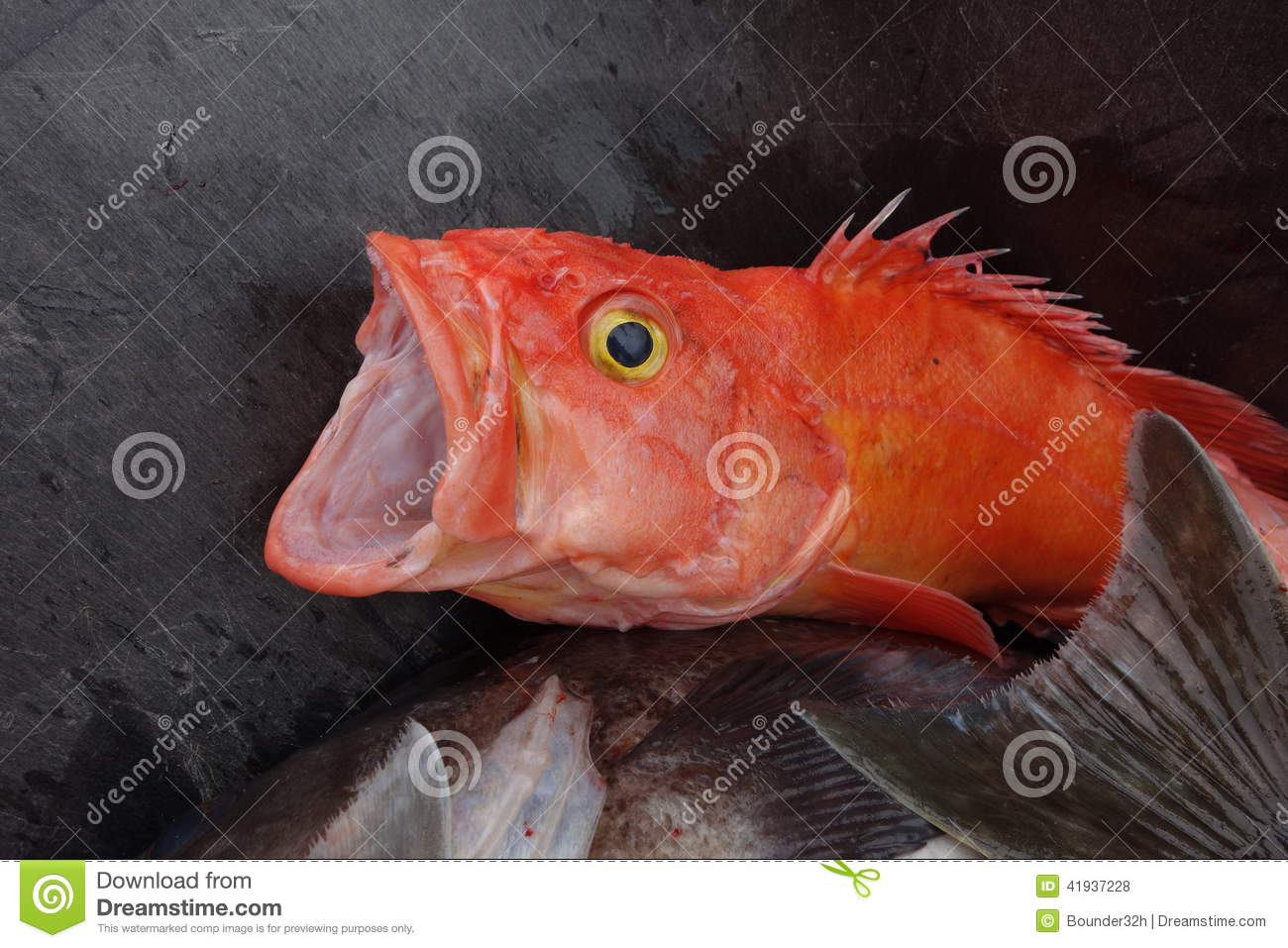 The gaping mouth of a redfish stock photo image 41937228 for Best time to fish in alaska