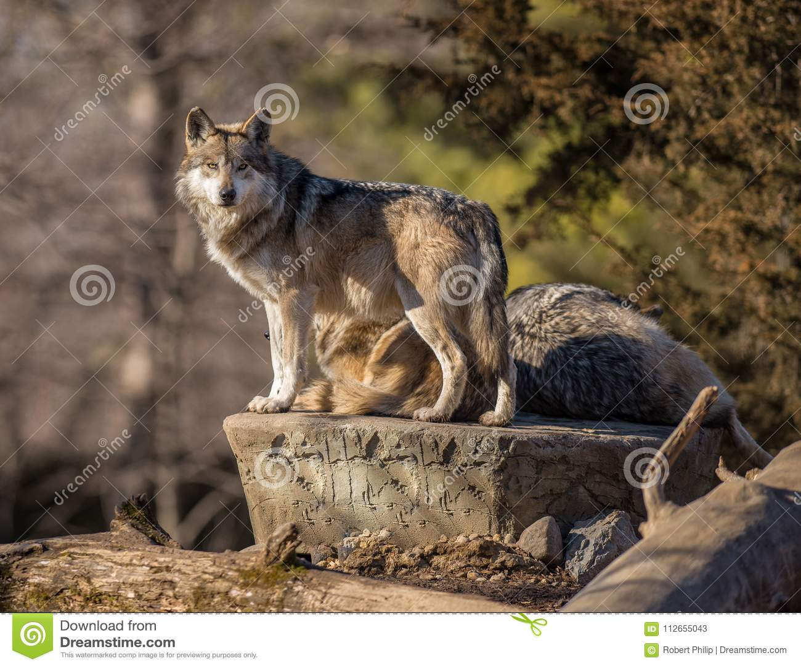 Gapiowski wilk przy Brookfield zoo
