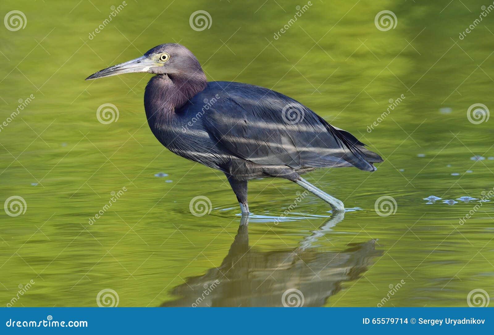 Garça-real de azul pequeno ( Egretta caerulea) pesca