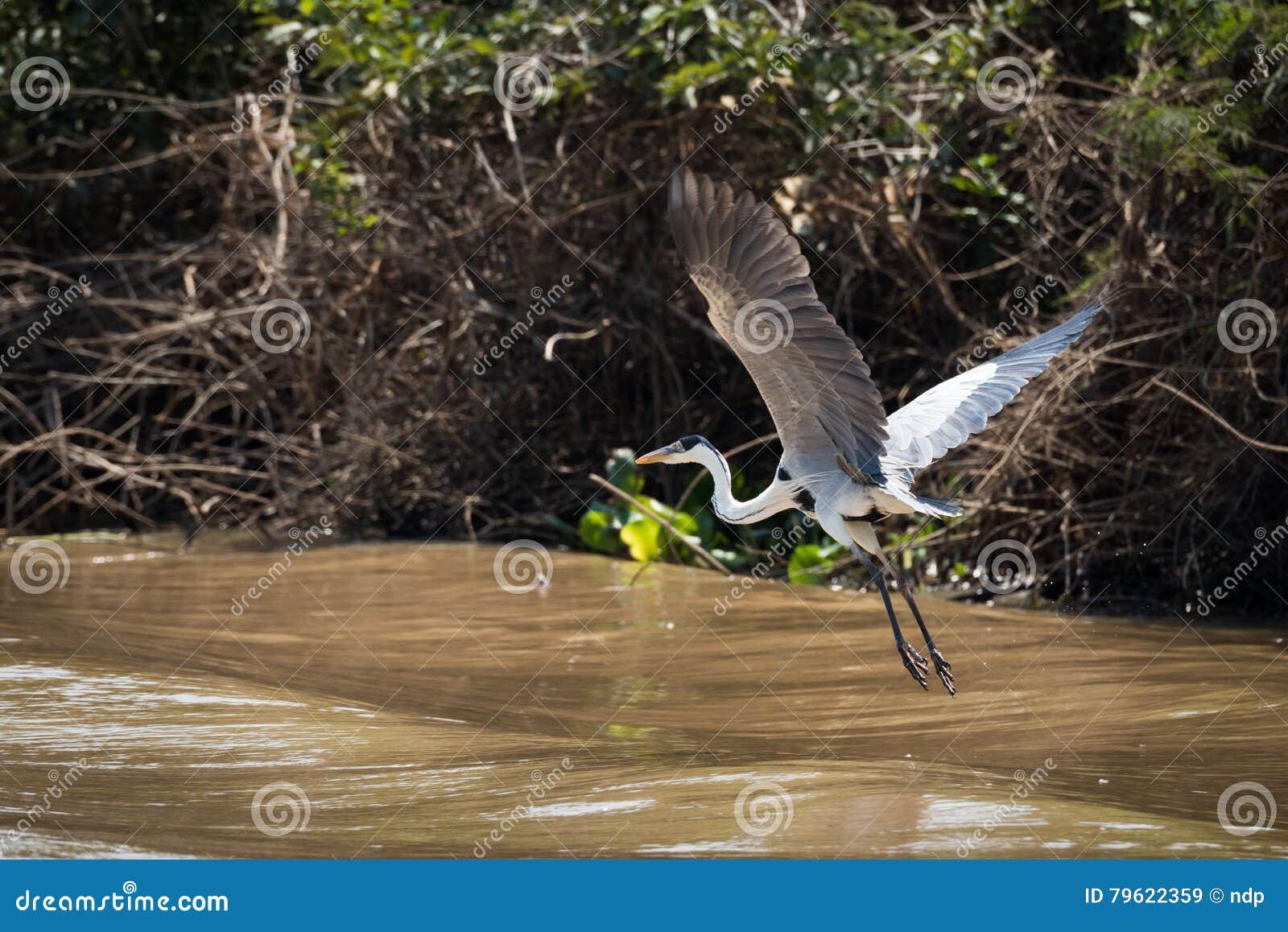 Garça-real de Cocoi que voa sobre o rio ao lado do banco