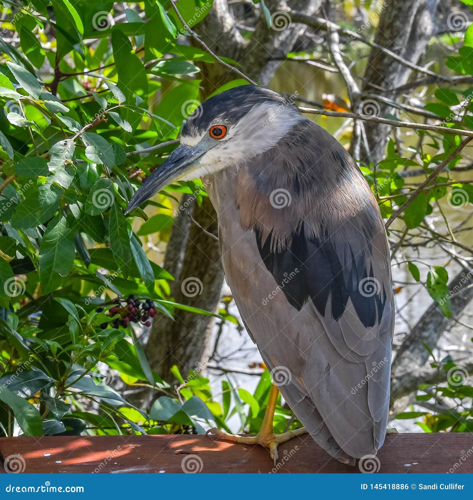 Gar?a-real de noite coroada preta nos manguezais