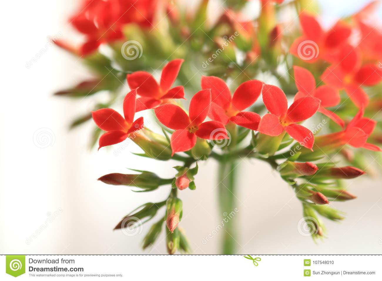 Garan dishlongevity flowers stock photo image of considered implied meaning of plant culture is considered auspicious longevity lucky flower another name for longevity flowers izmirmasajfo