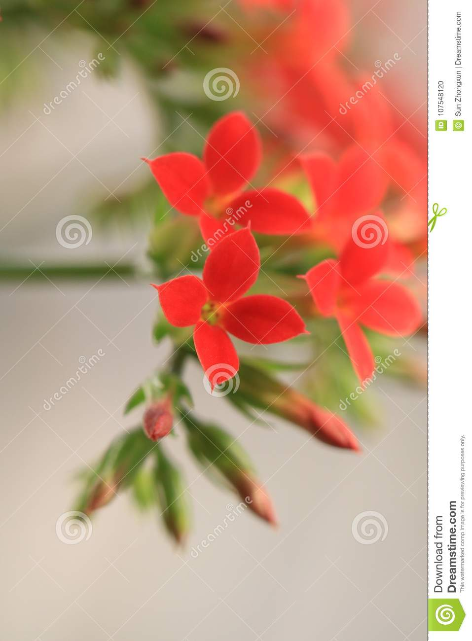 Garan dishlongevity flowers stock photo image of culture high implied meaning of plant culture is considered auspicious longevity lucky flower another name for longevity flowers izmirmasajfo