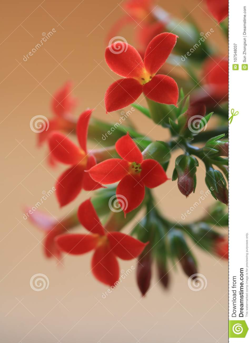 Garan dishlongevity flowers stock image image of herbs implied meaning of plant culture is considered auspicious longevity lucky flower another name for longevity flowers izmirmasajfo