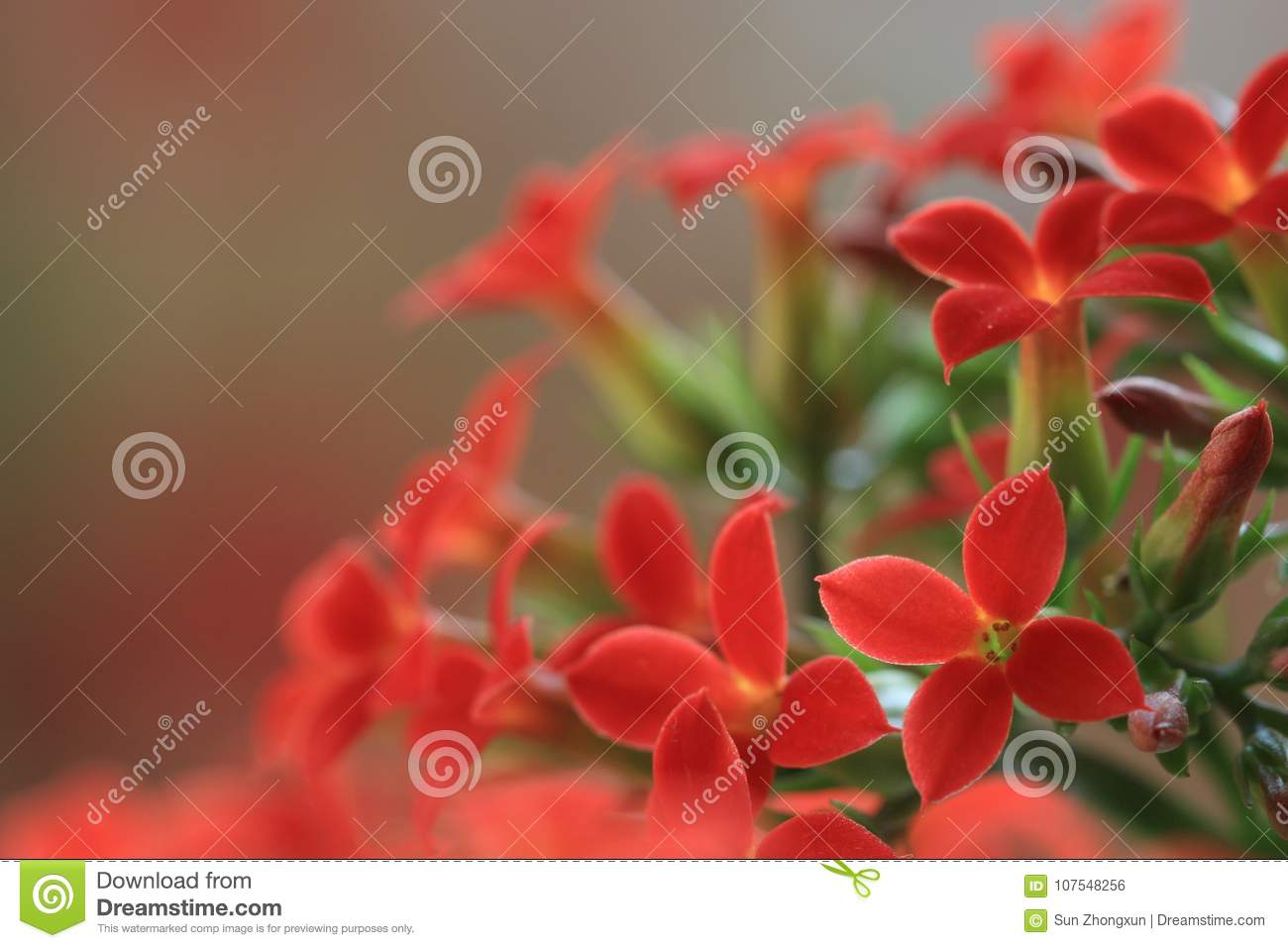 Garan dishlongevity flowers stock photo image of meaning implied meaning of plant culture is considered auspicious longevity lucky flower another name for longevity flowers izmirmasajfo