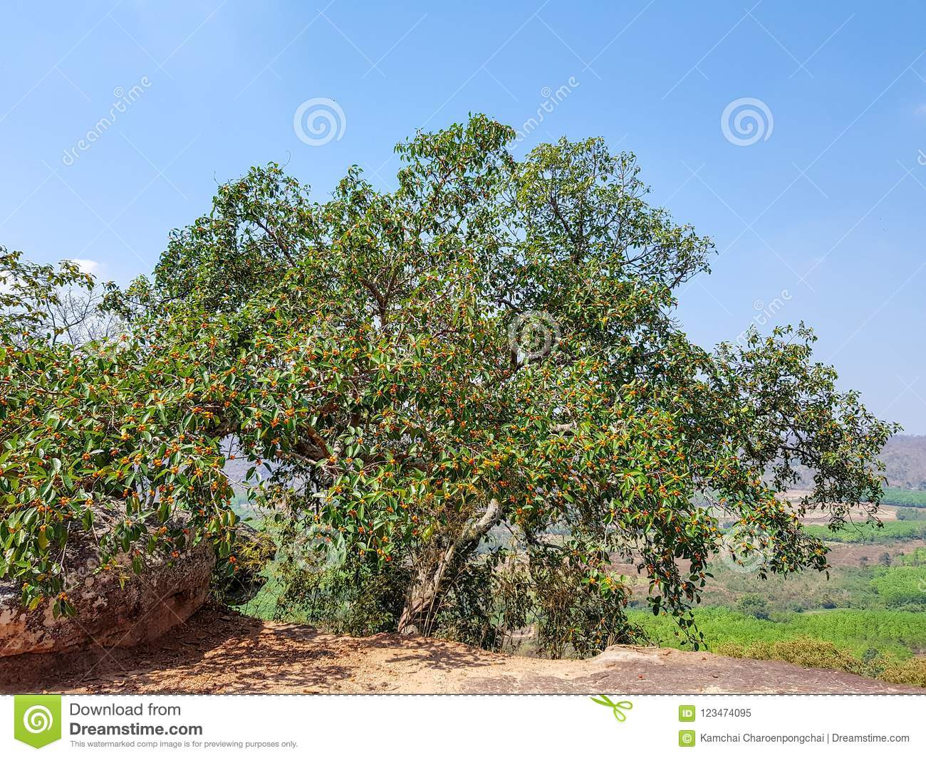 Garcinia cowa, an evergreen trees and shrubs usually found across tropical forest