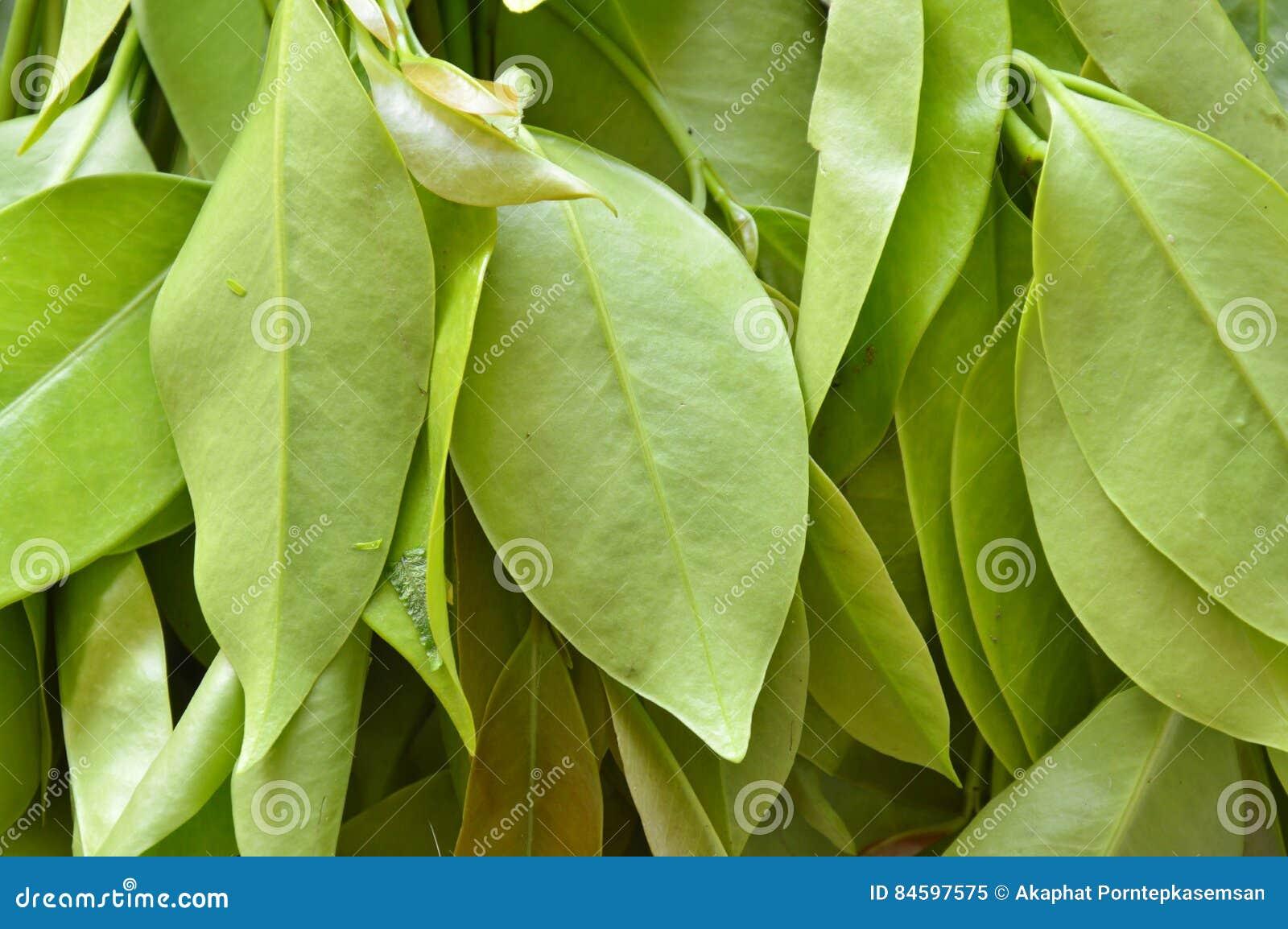 Garcinia cowa tropical herb taste sour and unique scent