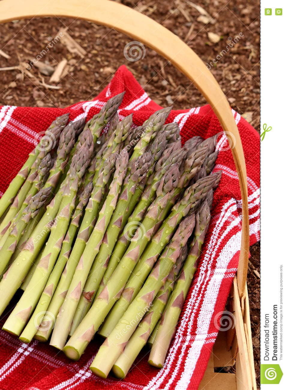 Fresh cut asparagus spears rest in a red and white lined basket that is setting in the garden.