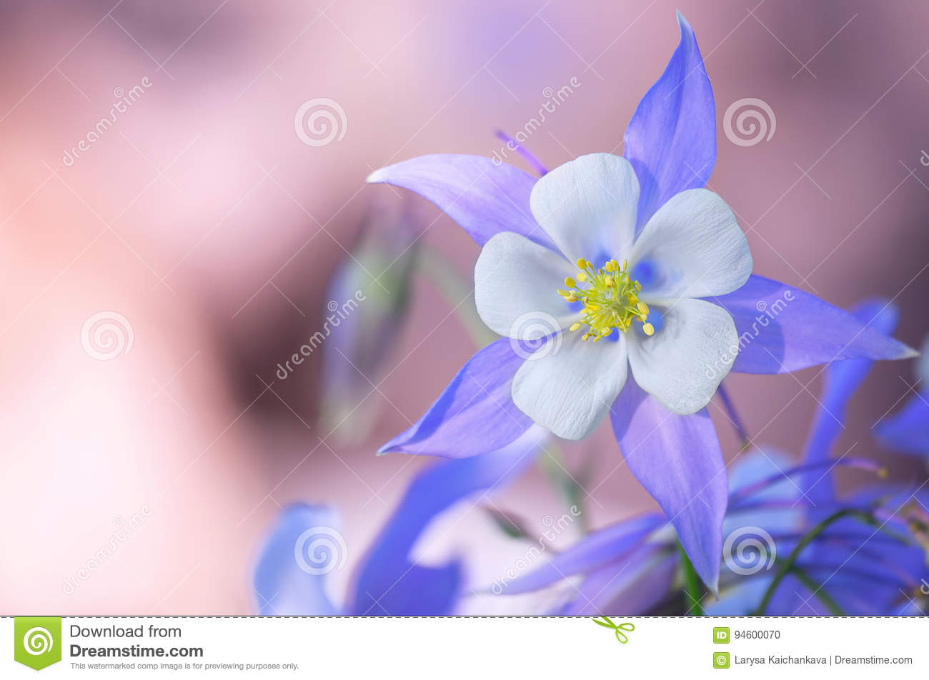 Garden of blue columbine flowers stock photo image of flowers download garden of blue columbine flowers stock photo image of flowers blue 94600070 izmirmasajfo