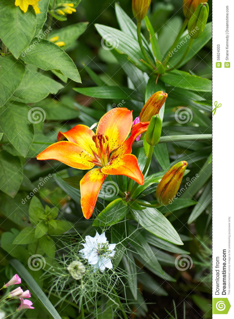Garden border with orange lily stock image image of garden leaves several different plants and flowers in a garden border including orange lily and blue nigella flowers izmirmasajfo