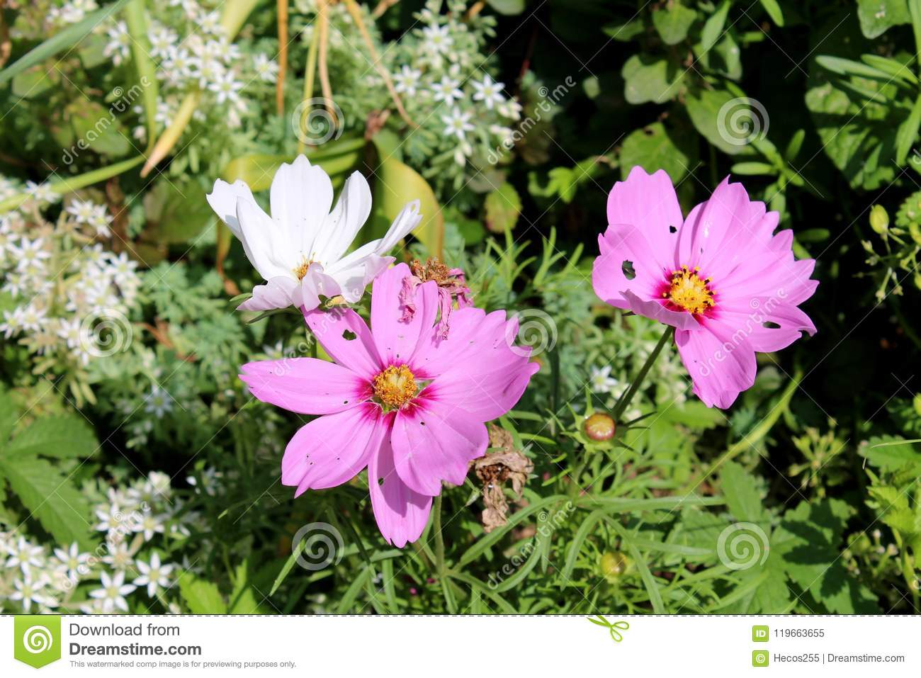 Garden cosmos or cosmos bipinnatus or mexican aster bright purple garden cosmos or cosmos bipinnatus or mexican aster bright purple and white half hardy annual fully blooming flowers with pointy leaves dried flowers and izmirmasajfo