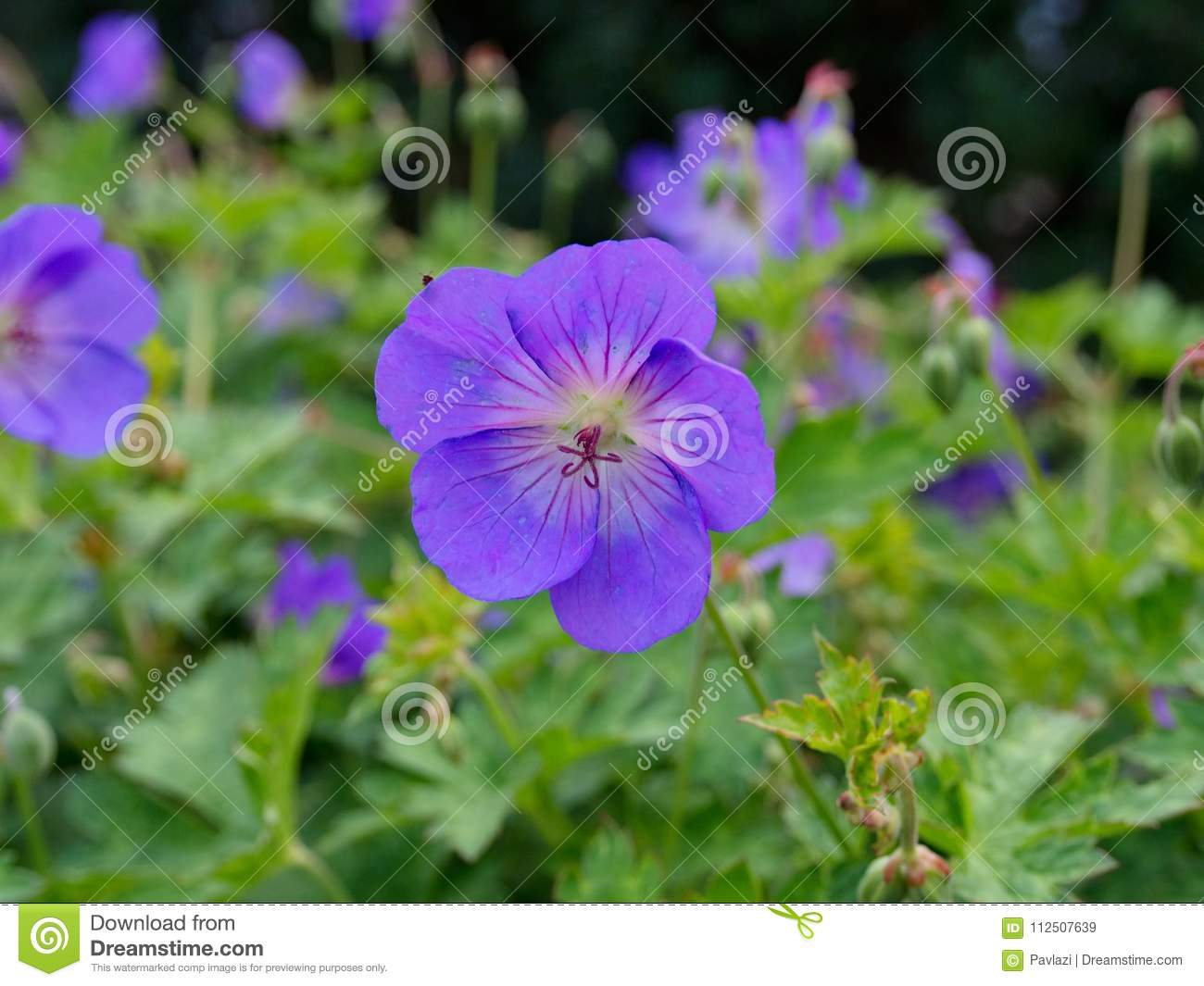 Blue Violet Flower Of Cranesbill Geranium Stock Image Image Of