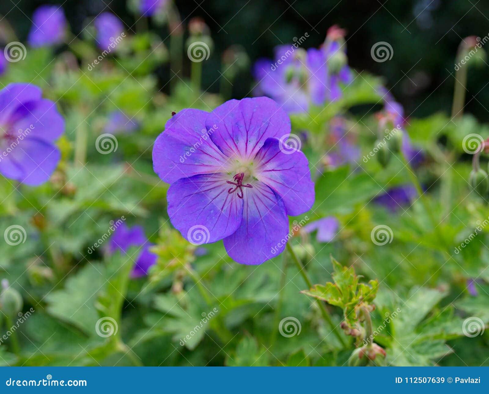 Blue violet flower of cranesbill geranium stock image image of download blue violet flower of cranesbill geranium stock image image of garden cultivar izmirmasajfo