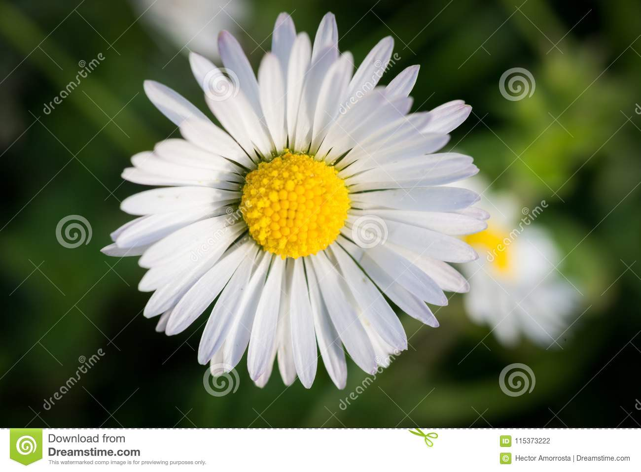Macro Photo Of Daisy Flower Stock Photo Image Of Plant Macro
