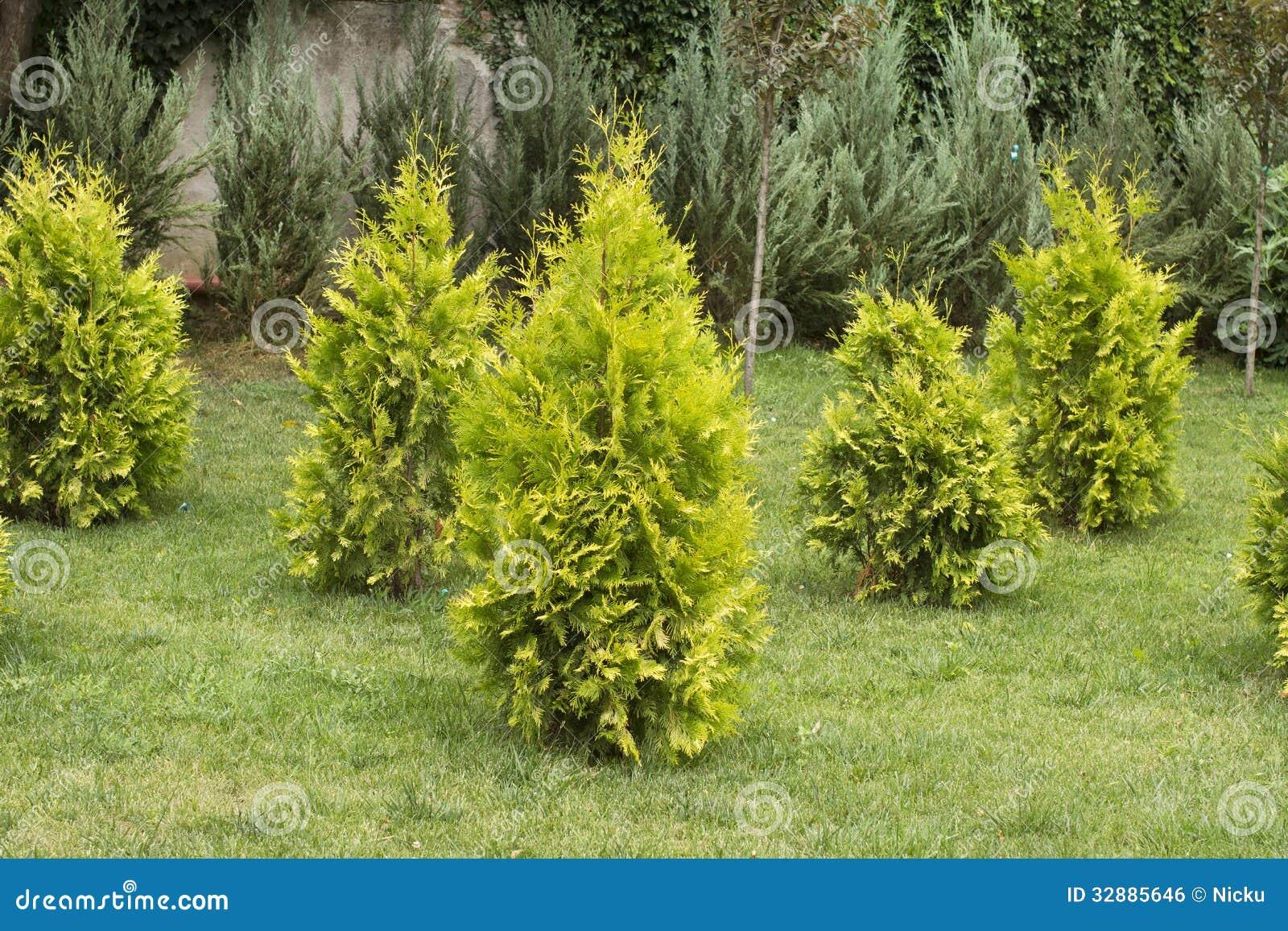 Decorative Blue Spruce : Garden decorative small spruce royalty free stock image