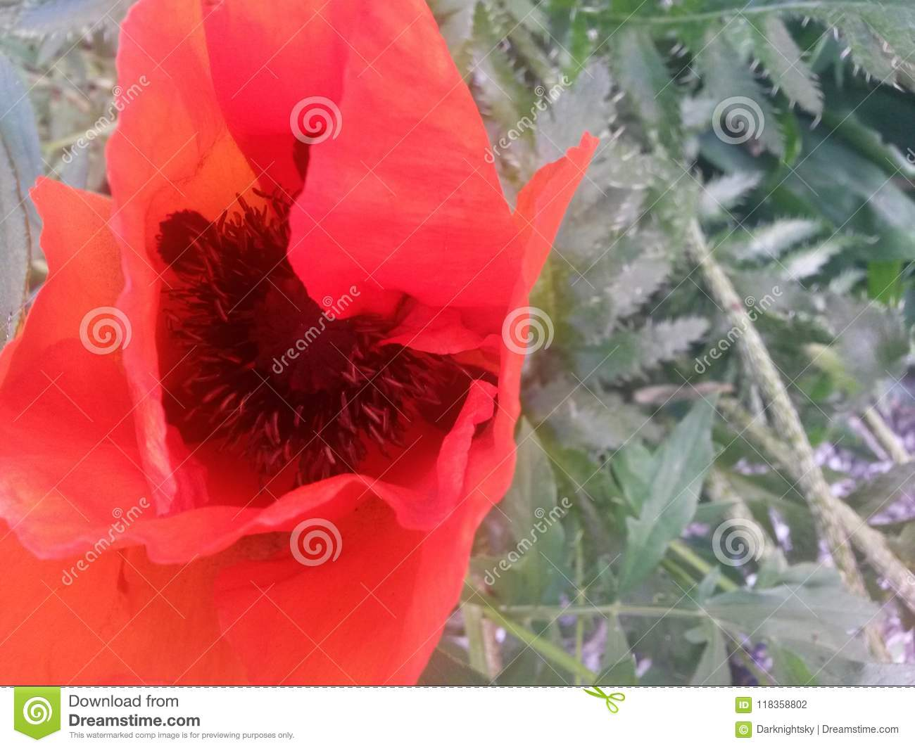 Red Poppy Blooming Flowers Stock Photo Image Of Colors 118358802