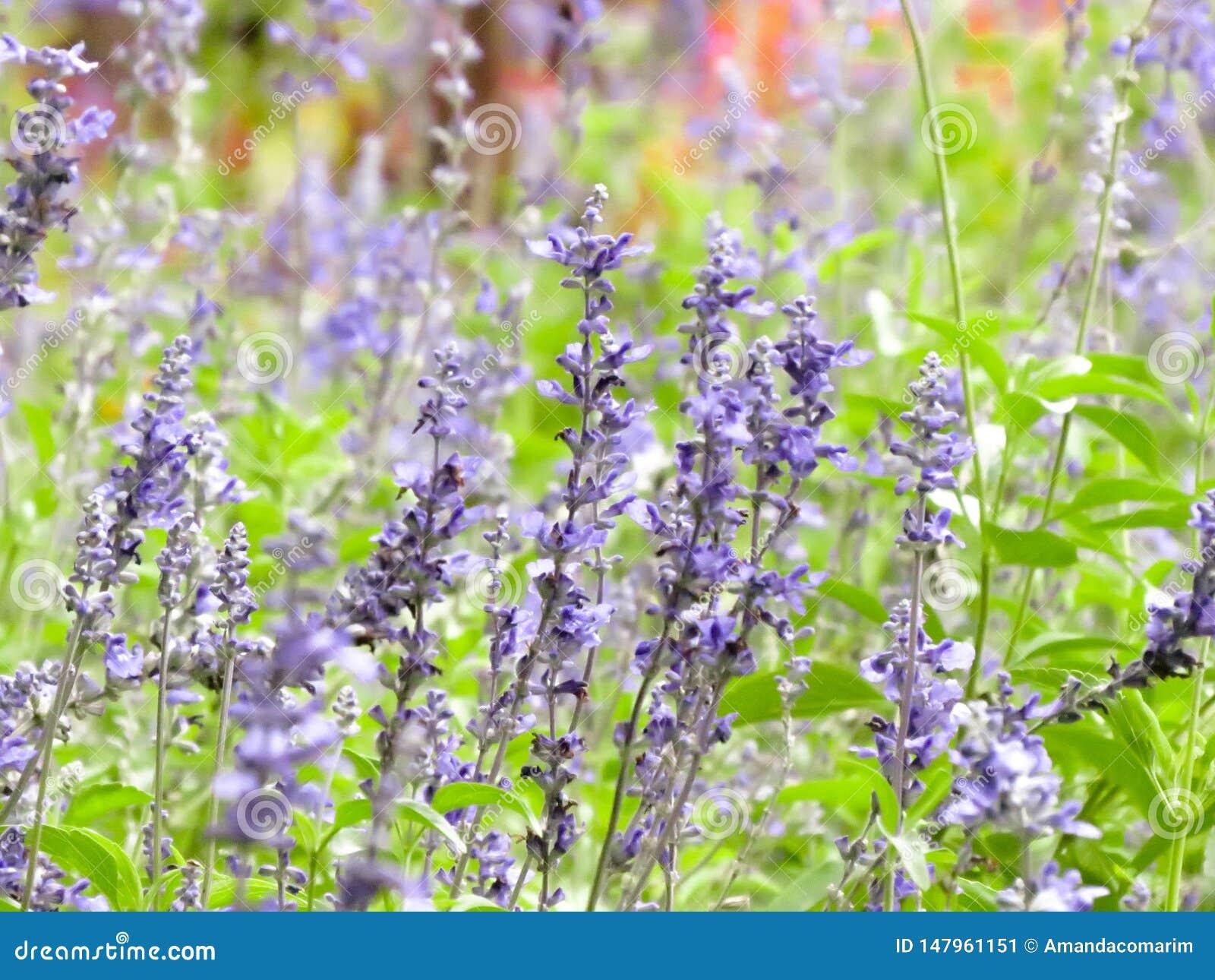 Garden field of lavender flowers