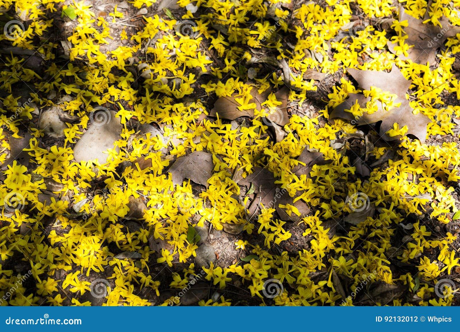 Garden Floor Ground Of Fallen Yellow Jasmine Flowers Stock Photo