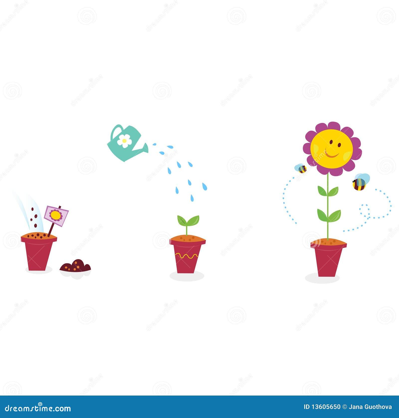 Garden flower growth stages - sunflower