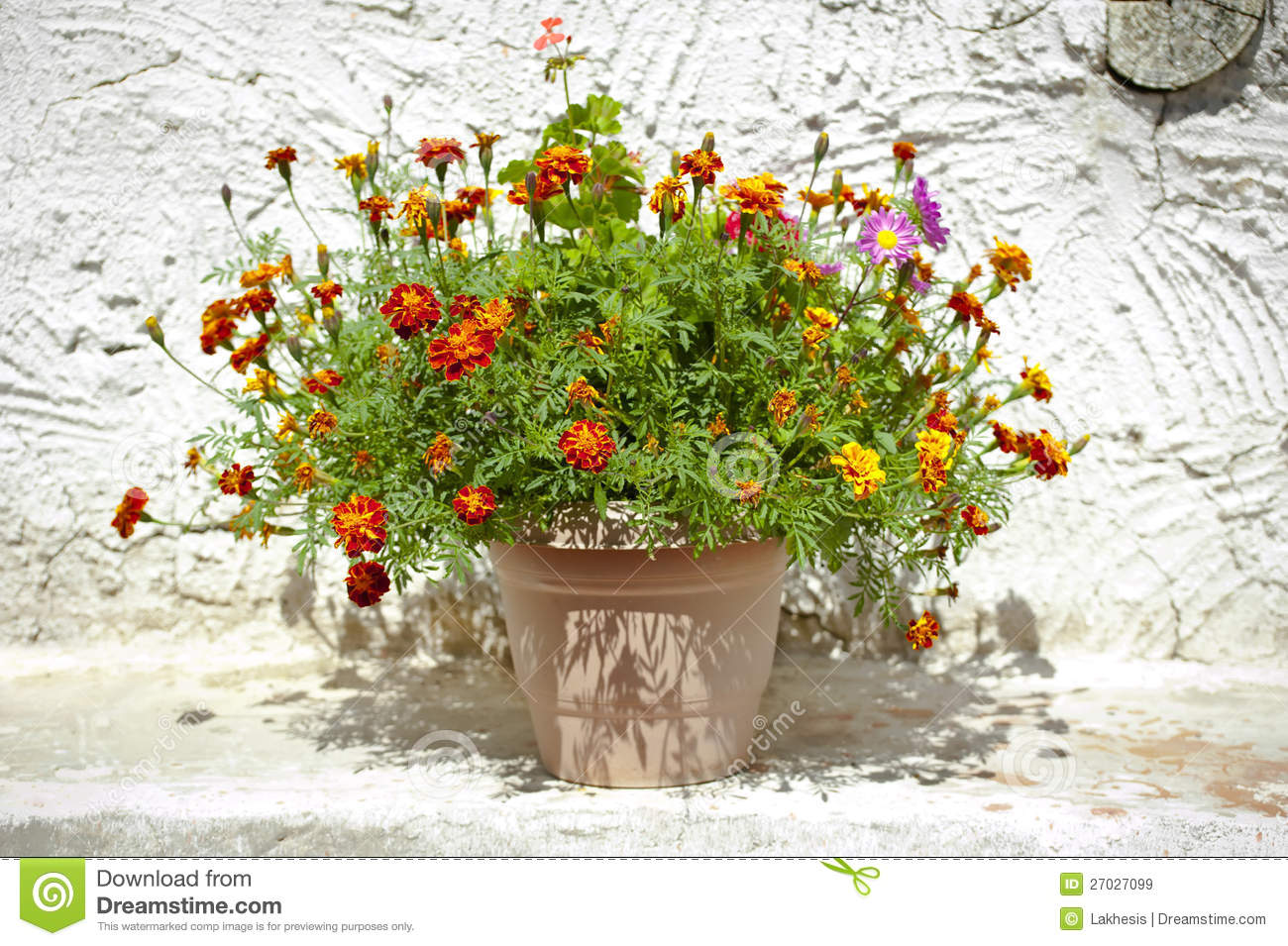 garden flower pot with growing tagetes royalty free stock images - Outdoor Flower Pots