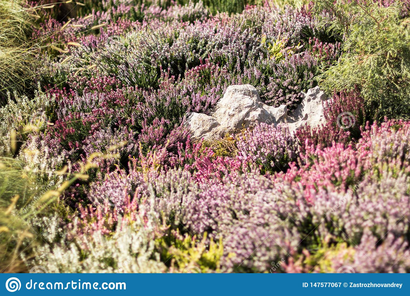Garden with flowering heather, close-up