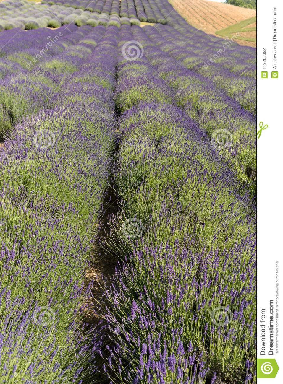 Garden full of lavender in Ostrów 40 km from Krakow. The smell and color of lavender allows visitors to feel like in Provence.