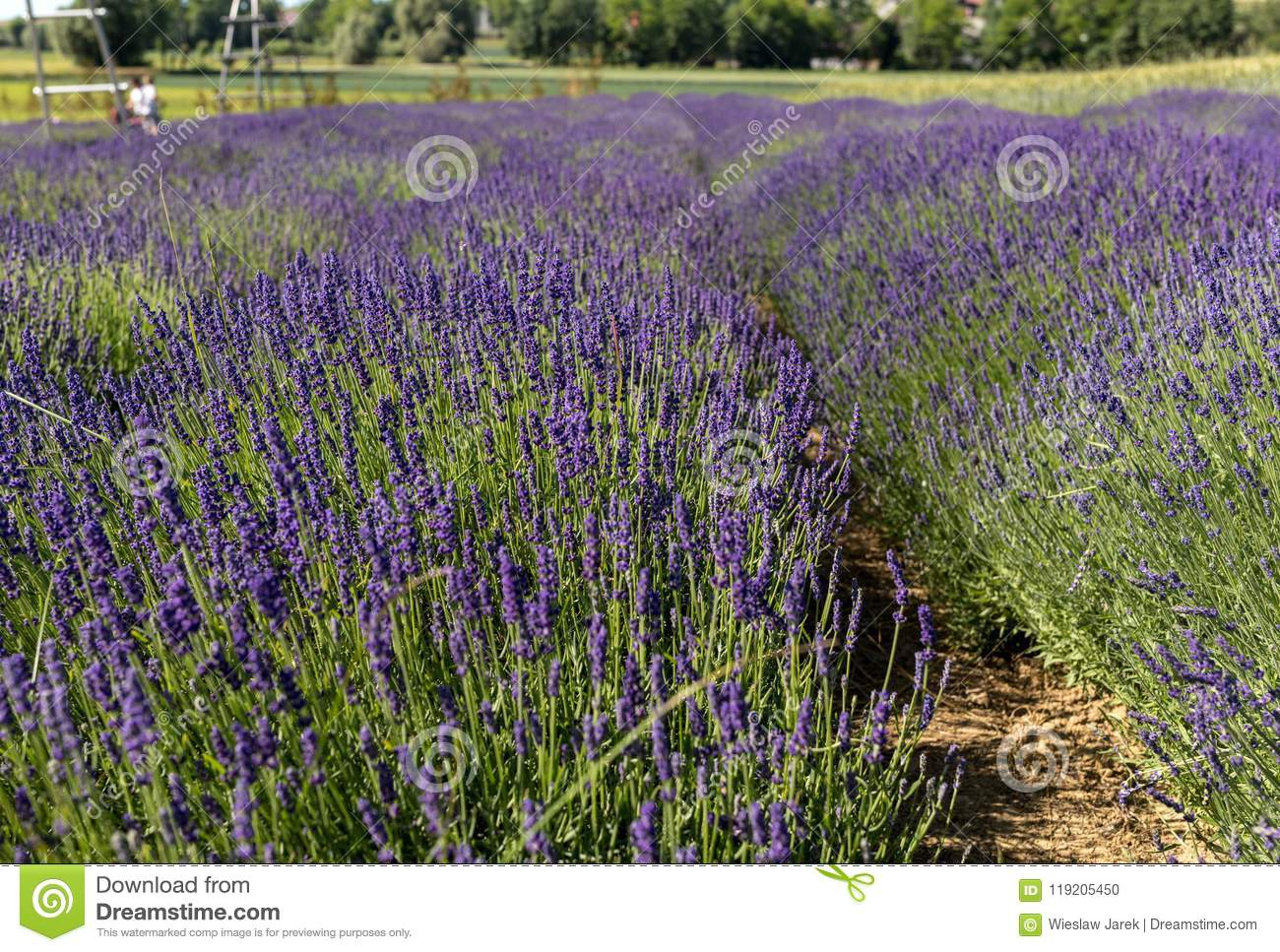 Garden full of lavender in Ostrów 40 km from Krakow. The smell and color of lavender allows visitors to feel like in Provence