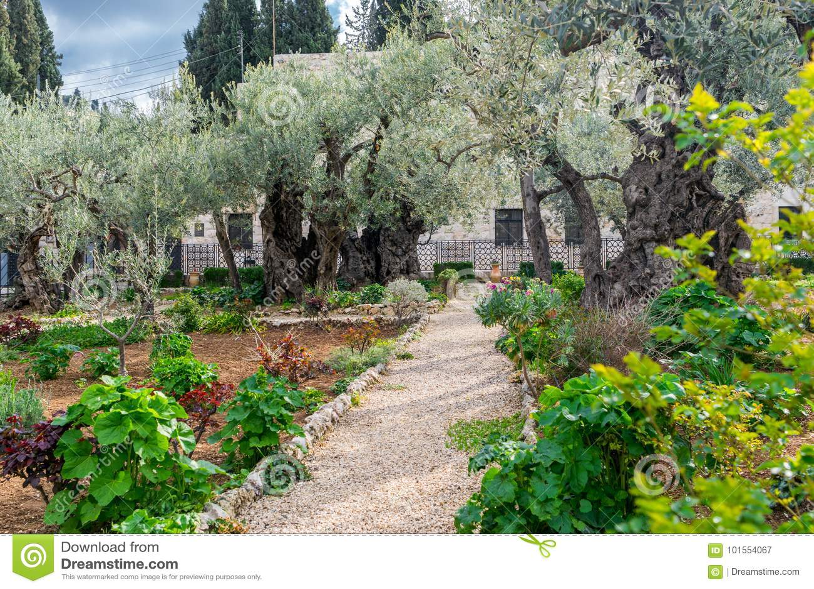 Download Garden Of Gethsemane   Pathwalk Stock Image   Image Of Blood,  Gethsemane: 101554067
