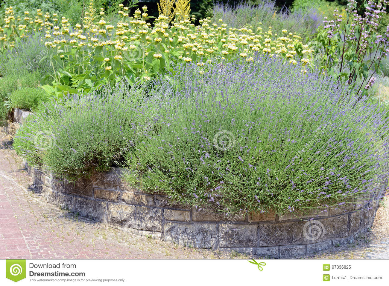Garden with Lavender Lavandula angustifolia and Lampwick Plant