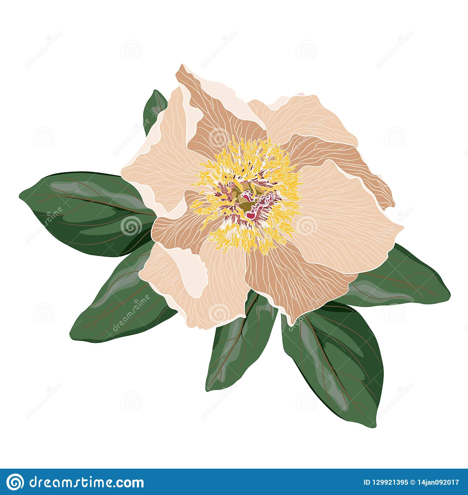 Garden light beige peony with green leaves. Watercolor, hand painted, isolated on white background.