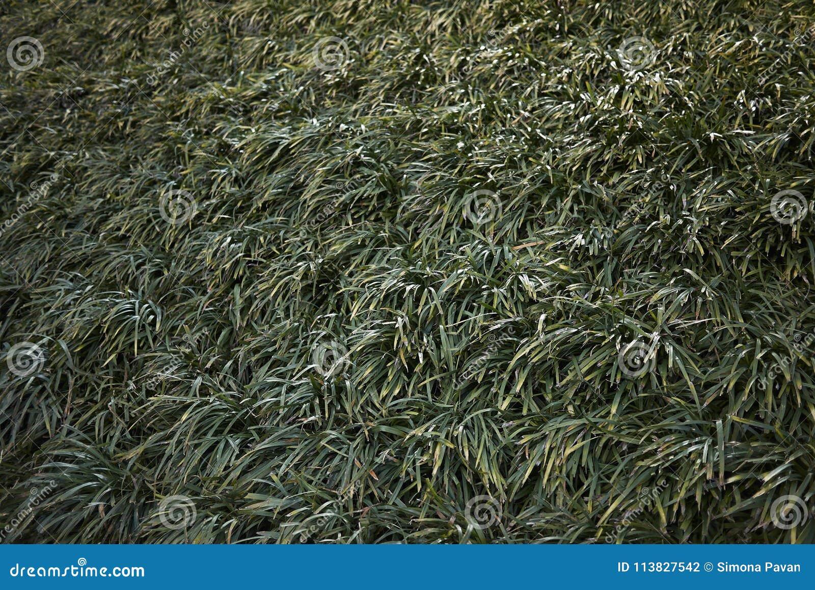 Liriope Muscari Plants Stock Photo Image Of Lush Garden 113827542