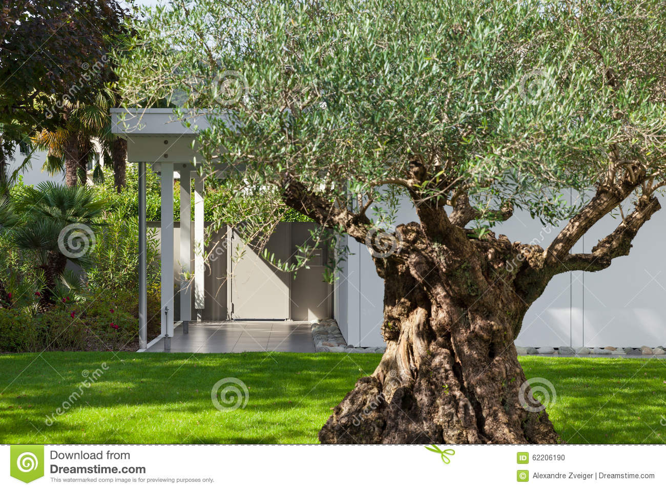 Garden Of A Modern House With Olive Tree Stock Photo Image 62206190