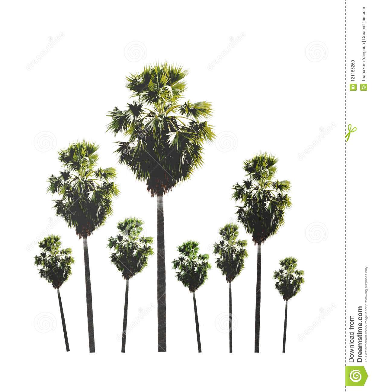 Garden of palm sugar tree isolated on white background.