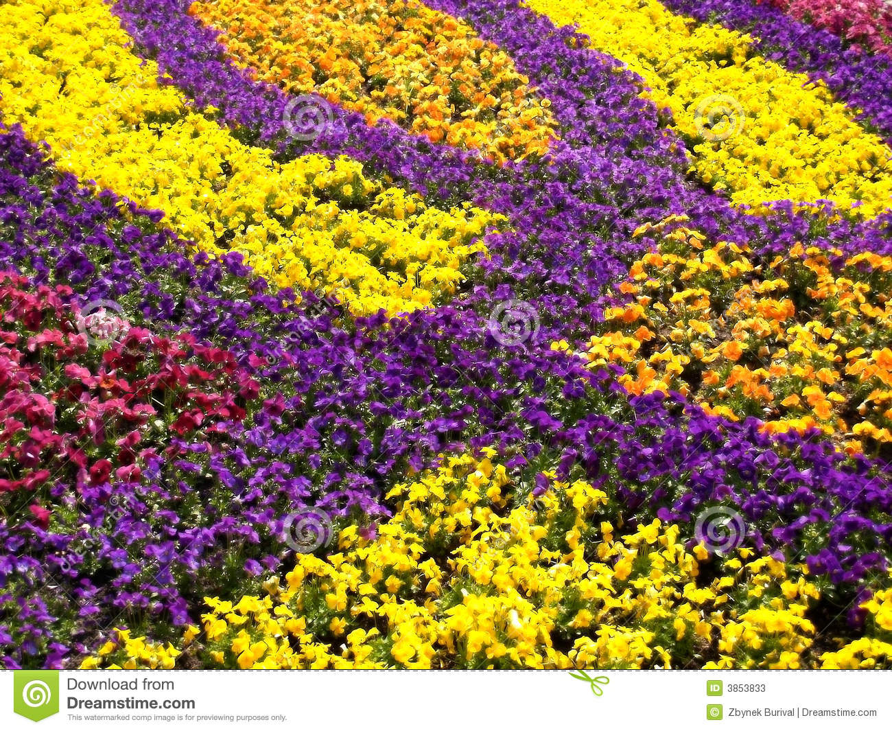 Garden Pansy Field Stock Image Image Of Theme Background 3853833