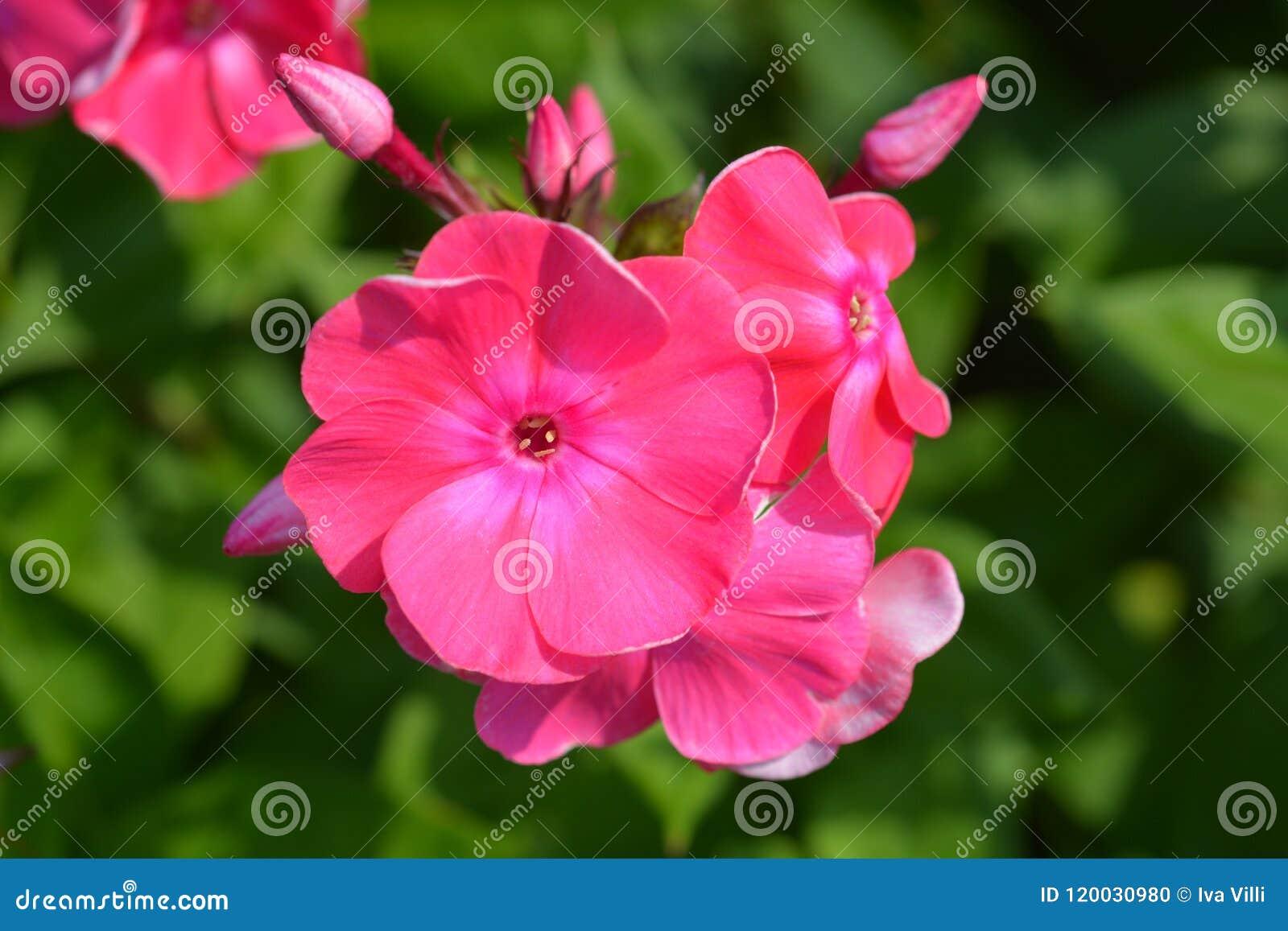 Garden Phlox Stock Photo Image Of Flower Name Pink 120030980